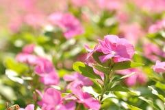 Красивые розовые цветки Стоковая Фотография