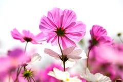 Красивые розовые цветки стоковые изображения rf