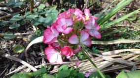 Красивые розовые цветок и зеленые растения, малый сад в Бразилии Стоковая Фотография RF