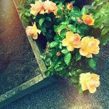 Красивые розы в ретро свете стоковые фото