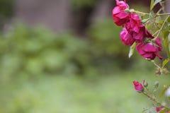 Красивые розы кустарника Стоковые Изображения RF