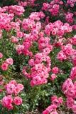 Красивые розы пинка buch Стоковые Фотографии RF