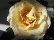 Красивые розы с падениями воды Стоковое Изображение