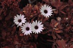 Красивые розы с теплым цветом Стоковое Изображение RF