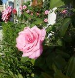 Красивые романтичные розовые розы в свете и очень темной тени! Стоковые Фото