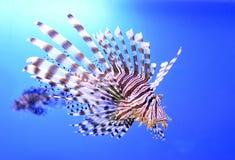 Красивые рыбы зебры или striped крылатка-зебра в аквариуме Стоковые Фото
