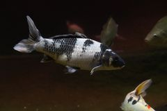 Красивые рыбы под концом-вверх воды стоковое изображение