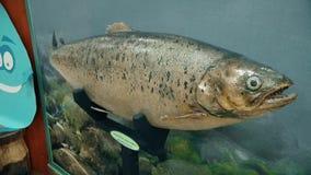 Красивые рыбы реки модели подготовки, форель акции видеоматериалы
