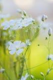 Красивые свежие белые цветки, абстрактное мечтательное флористическое backgroun Стоковое Изображение