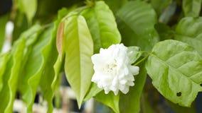 Красивые свежие цветки жасмина в саде Стоковые Изображения RF