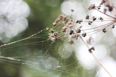 Красивые сети паука на цветках Стоковые Изображения RF