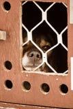 Красивые собаки Аляски осиплые ждать гонку собаки скелетона для того чтобы начать Стоковые Фотографии RF
