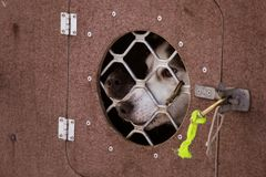 Красивые собаки Аляски осиплые ждать гонку собаки скелетона для того чтобы начать Стоковое Изображение