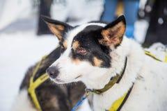 Красивые собаки Аляски осиплые на финишной черте гонки собаки скелетона Стоковое Изображение RF