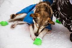 Красивые собаки Аляски осиплые на финишной черте гонки собаки скелетона Стоковое Изображение
