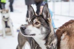 Красивые собаки Аляски осиплые на финишной черте гонки собаки скелетона Стоковые Изображения RF
