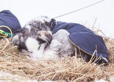 Красивые собаки Аляски осиплые отдыхая во время гонки собаки скелетона Стоковые Фото