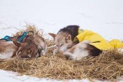 Красивые собаки Аляски осиплые отдыхая во время гонки собаки скелетона Стоковая Фотография