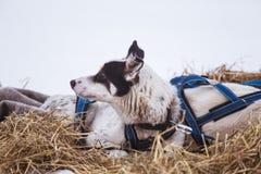 Красивые собаки Аляски осиплые отдыхая во время гонки собаки скелетона Стоковые Изображения
