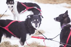 Красивые собаки Аляски осиплые отдыхая во время гонки собаки скелетона Стоковые Изображения RF