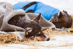 Красивые собаки Аляски осиплые отдыхая во время гонки собаки скелетона Стоковое Изображение