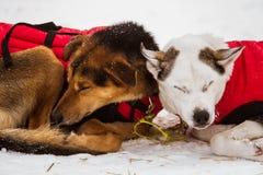 Красивые собаки Аляски осиплые отдыхая во время гонки собаки скелетона Стоковое Изображение RF