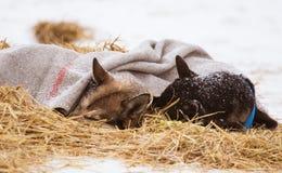 Красивые собаки Аляски осиплые отдыхая во время гонки собаки скелетона Стоковая Фотография RF