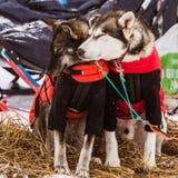 Красивые собаки Аляски осиплые отдыхая во время гонки собаки скелетона Стоковое Фото