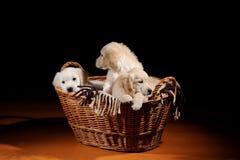 Красивые собаки retriever Лабрадора Стоковая Фотография