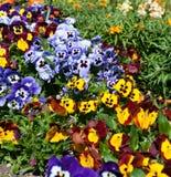 Красивые собрания цветков Виолы Стоковое Фото