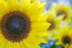 Красивые солнцецветы в луге стоковая фотография