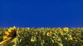 Красивые солнцецветы в поле на восходе солнца Поле с солнцецветами, бабочками и насекомыми перед голубым экраном стоковые фотографии rf