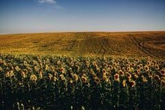 Красивые солнцецветы в предпосылке поля естественной, зацветать солнцецвета стоковые фото