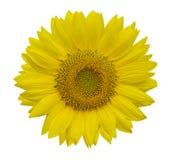 Красивые солнцецветы изолированные на желтой предпосылке стоковая фотография