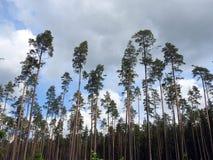 Красивые сосны в лесе, Литве Стоковая Фотография