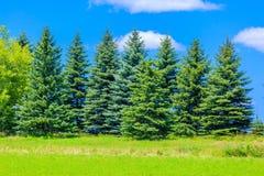 Красивые сосны на горах предпосылки высоких Стоковые Фотографии RF