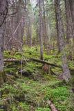 Красивые сосны на горах предпосылки высоких Стоковая Фотография RF