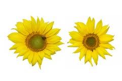 Красивые солнцецветы изолированные на белой предпосылке Стоковое Фото