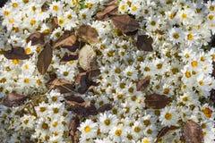 Красивые стоцветы сада покрыли желтые лиственные листья на задворк в осени Стоковые Изображения