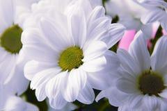 Красивые стоцветы Стоковые Фотографии RF