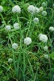 Красивые стрелки зеленых луков Стоковая Фотография