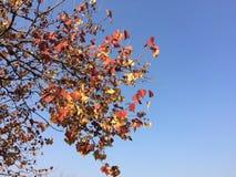 Красивые сушат листья с ясным голубым небом стоковые изображения
