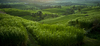 Красивые террасы риса Jatiluwih в Бали, Индонезии Стоковые Изображения RF