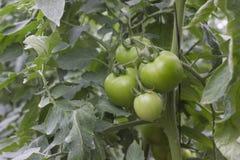 Красивые томаты, который выросли в парнике Садовничая фотоснимок томата с космосом экземпляра Стоковые Изображения RF