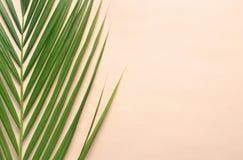 Красивые тропические лист ладони саго Стоковая Фотография RF