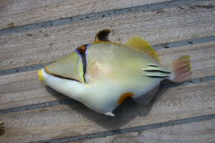 Красивые тропические рыбы от Красного Моря Стоковое Изображение RF