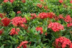 Красивые тропические цветки, ratut strizhennom Буша много ярких сочных цветов в горячих климатах тропическо стоковое изображение