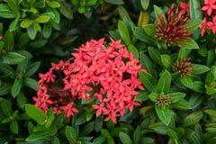 Красивые тропические цветки, ratut strizhennom Буша много ярких сочных цветов в горячих климатах тропическо стоковое изображение rf