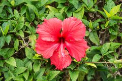 Красивые тропические цветки, ratut strizhennom Буша много ярких сочных цветов в горячих климатах тропическо стоковые изображения rf