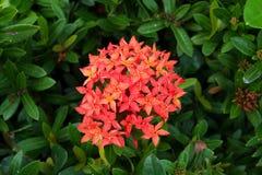 Красивые тропические цветки, ratut strizhennom Буша много ярких сочных цветов в горячих климатах тропическо стоковая фотография